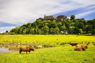 Fotomural Vaca de las tierras altas frente al castillo de Stirling. Vaca típica de las tierras altas escocesas. Stirling, Escocia, Reino Unido