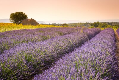 Fotomural Valensole, Provenza, Francia. Campo de lavanda llena de flores de color púrpura