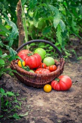 Fotomural Varios tomates en el suelo