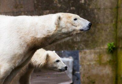 Fotomural ver osos polares