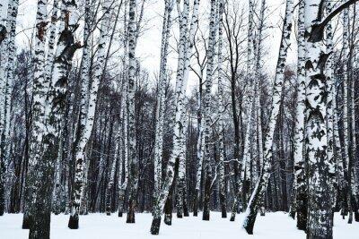 Fotomural Vista del bosque de abedules cubierto de nieve en invierno