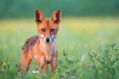 Fotomural Wild Fox rojo mirando a la cámara
