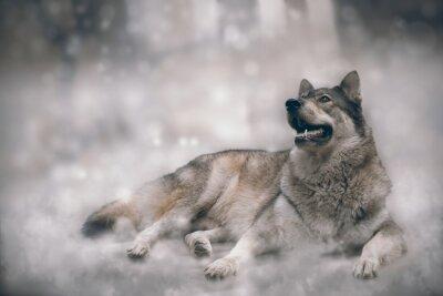 Fotomural Wolf / Niza lobo sobre fondo de nieve.