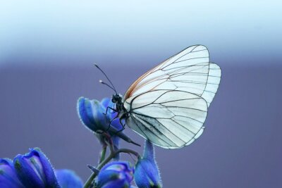 Fotomural Белая бабочка на синем цветке
