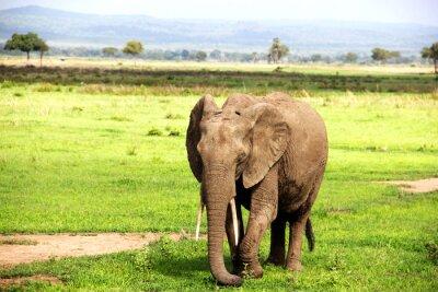 Fotomural слон Африканский