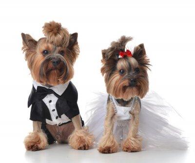 Fotomural Yorkshire Terriers vestida para la boda como la escoba y la novia s