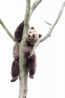 Fotomural Young brown bear in a tree