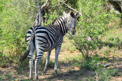 Fotomural Zebra en África Mirando hacia atrás