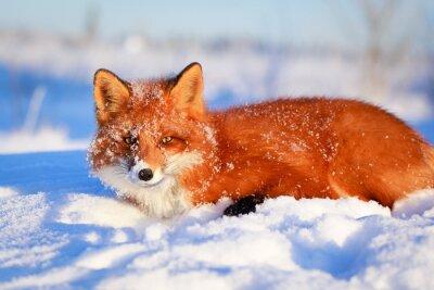 Fotomural zorro rojo