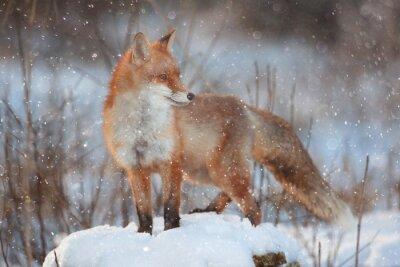Fotomural Zorro rojo en el bosque de invierno Pretty