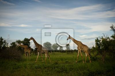 3 jirafas en el crepúsculo