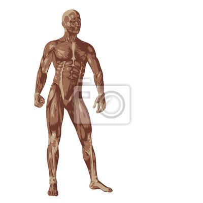 3d humana o el hombre con los músculos para los diseños de anatomía ...