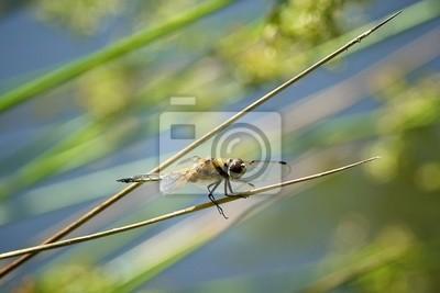 4 avistados libélula chaser