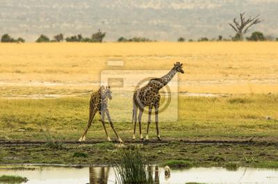 Abbeveramento Giraffe