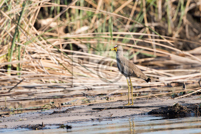 Abedul africano de Wattled por el río