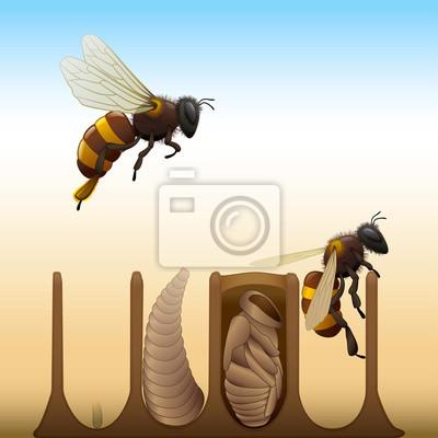 Abeja del ciclo de vida - huevo, larva, pupa, adulto carteles para ...