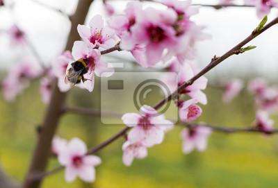 Abejorro en la flor de durazno que recoge el néctar