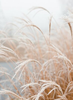 Póster Abstract natural background of soft plants Cortaderia selloana. Frosted pampas grass on a blurry bokeh, Dry reeds boho style. Patterns on the first ice. Earth watching
