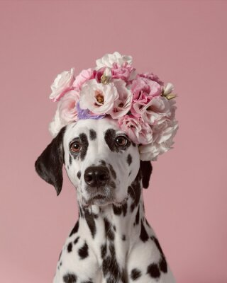 Póster Adorable dalmatian dog with wreath on pink background. Dog portrait with floral crown. I love you. Happy Valentines Day concept
