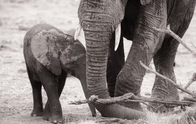 Póster African elephant calf