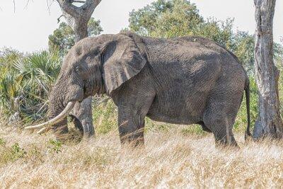 African elephant, Loxodonta africana, grazing