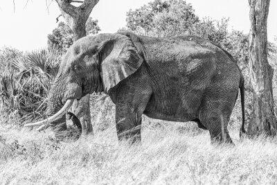 African elephant, Loxodonta africana, grazing. Monochrome