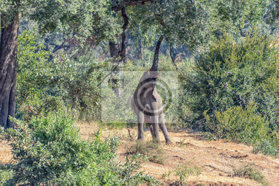 African elephant stretching to reach foilage of a large tree