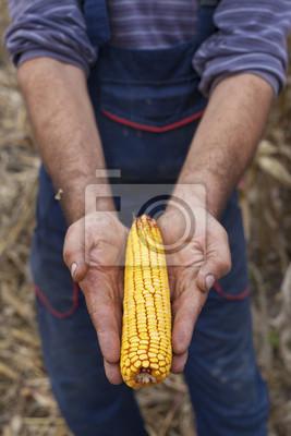 Agricultor mostrando maduro mazorca de maíz antes de la cosecha