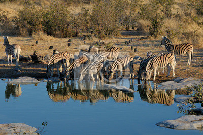 Agua potable de las cebras