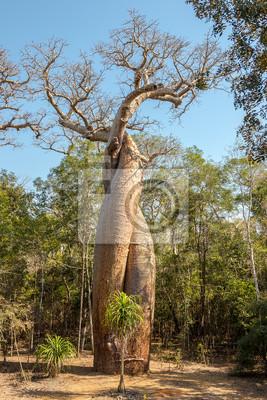 Amantes Baobab - Amoureux