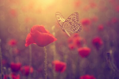 Póster Amapola y mariposa