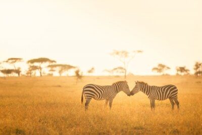 Póster Amor de la cebra en el Serengeti