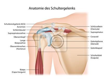 Anatomía articulación del hombro con alemán descripción carteles ...
