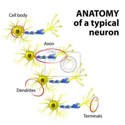Anatomía de una neurona típica carteles para la pared • pósters ...