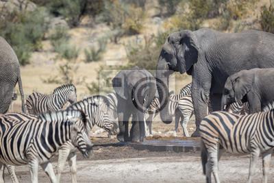 Animales de agua potable en una charca dentro del Parque Nacional de Etosha, Namibia, África