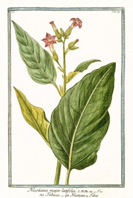 Póster Antigua ilustración botánica de Nicotiana major (Nicotiana tabacum). Por G. Bonelli en Hortus Romanus, publ. N. Martelli, Roma, 1772 - 93