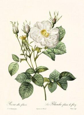 Póster Antigua ilustración de Rosa alba foliacea. Creado por PR Redoute, publicado en Les Roses, Imp. Firmin Didot, París, 1817-24