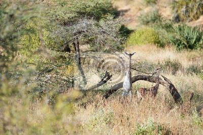 antílope jirafa
