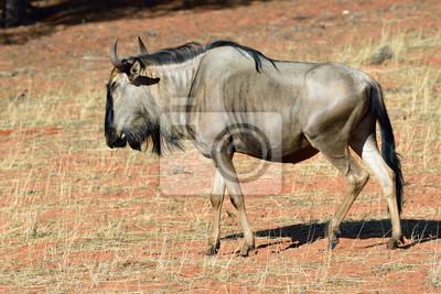 antílope ñu azul, Namibia