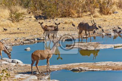 Antílopes Kudu. Reserva de la fauna africana, Etosha, Namibia