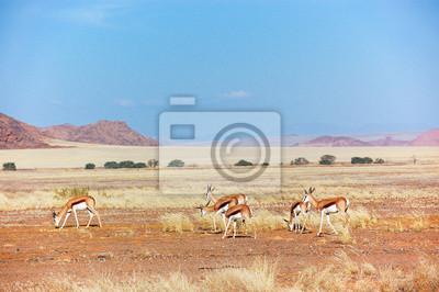 Antílopes Springbok en el desierto de Namib, los animales en África