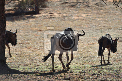 Antílopes wildebeest azul