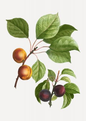 Póster Apricots and plums