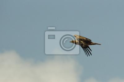 Aquila en volo