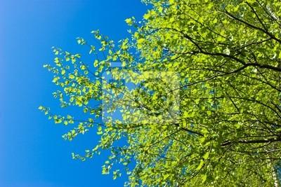 Árbol de abedul en el resorte