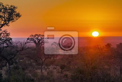 Árbol de baobab en el paisaje de la salida del sol en el Parque Nacional Kruger, Sudáfrica; Especie Adansonia digitata familia de Malvaceae
