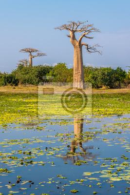 Árboles baobab con lago cerca de Morondava