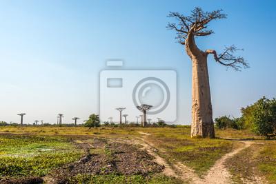 Árboles baobabs cerca de Morondava
