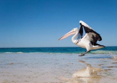 Póster Australia, Yanchep Lagoon, 18/04/2013, pelícano australiano despegando en vuelo de una playa australiana