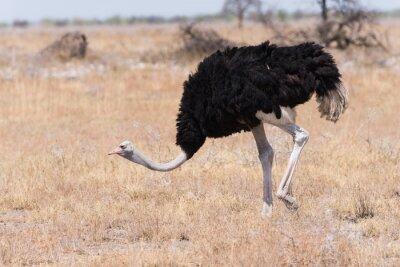 Avestruz macho